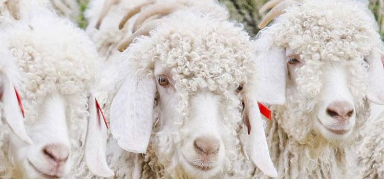 Laine à teindre Mohair angora - Chèvre - Artigina