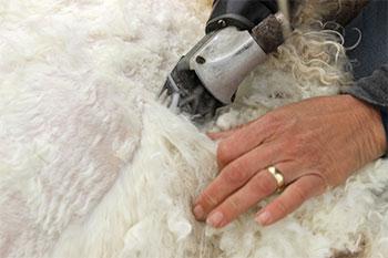 Laine à teindre Mohair angora - Tonte de la chèvre - Artigina